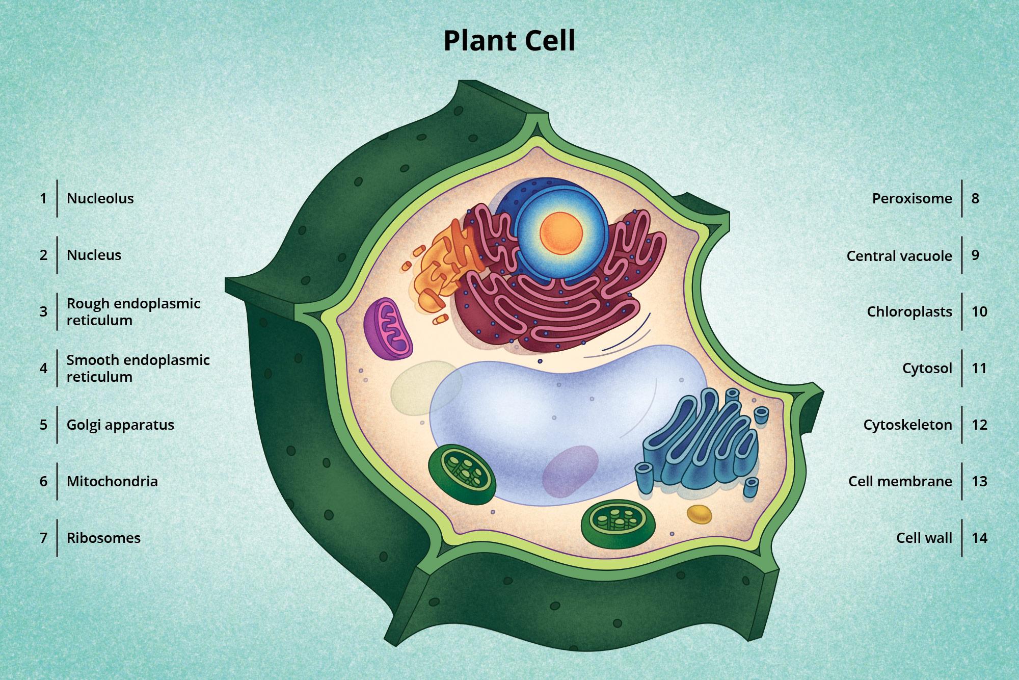 Visionlearning Plant Cell By Avidano Digital